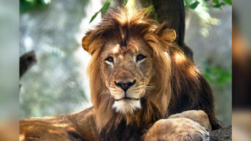 Etats-Unis : une lionne tue le père de ses lionceaux dans un zoo