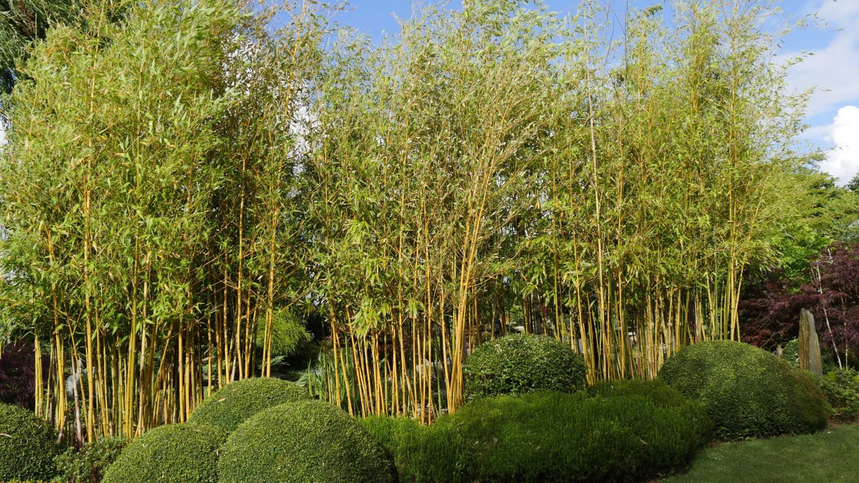 jardin comment emp cher les bambous de tout envahir. Black Bedroom Furniture Sets. Home Design Ideas