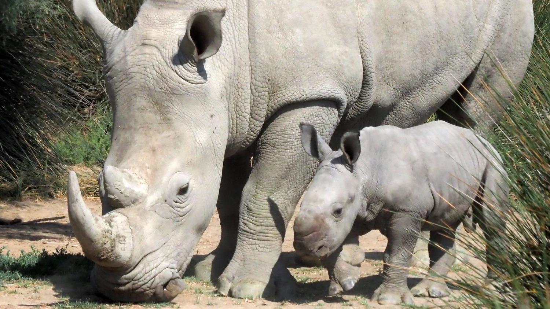 Rhinocéros blancs : la fécondation in vitro au secours de la sous-espèce