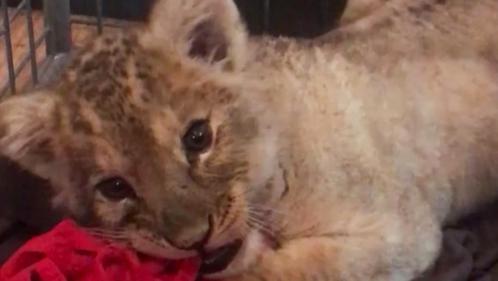 La Fondation 30 millions d'Amis recueille le lionceau découvert à bord d'une voiture sur les Champs-Élysées