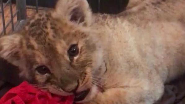 Paris : la Fondation 30Millions d'amis recueille le lionceau découvert à bord d'une voiture sur les Champs-Elysées