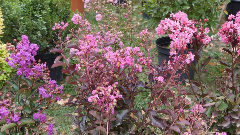 Planter Un Lilas En Pot jardin. le lilas des indes, un bel arbuste à planter maintenant