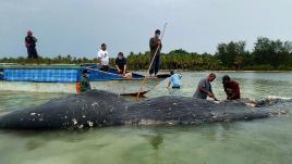 Un cachalot s'échoue après avoir ingurgité 6kg de plastique