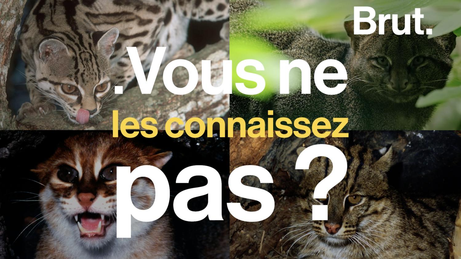 video  le margay  le jaguarondi  le chat  u00e0 t u00eate plate u2026 ces