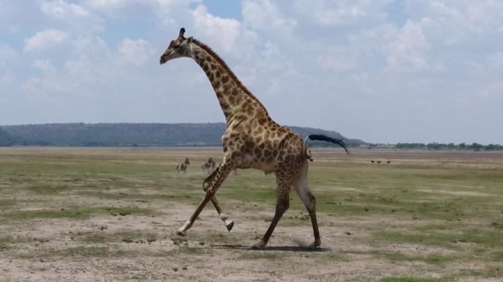 Quand les drones regardent courir les girafes - Girafe dans madagascar ...