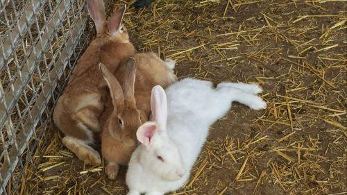 Côtes d'Armor : le tueur de lapins a encore sévi