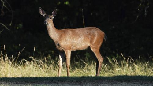 """Un braconnier américain condamné à regarder le dessin animé """"Bambi"""" une fois par mois en prison"""