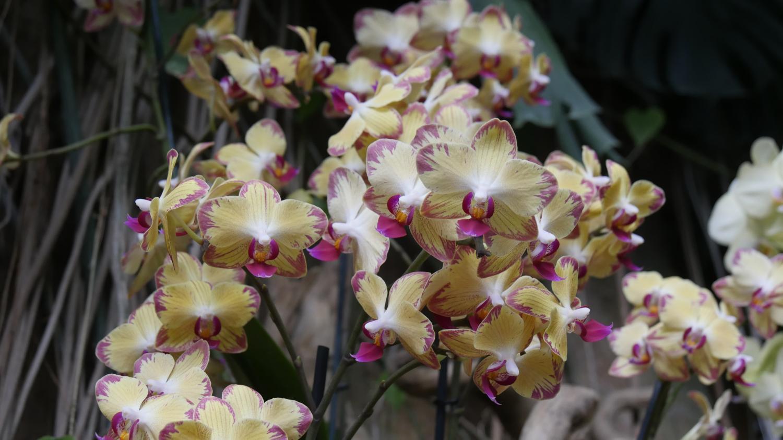 jardin. prendre soin de son orchid�e phalaenopsis
