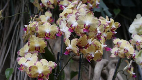 Jardin. Prendre soin de son orchidée phalaenopsis