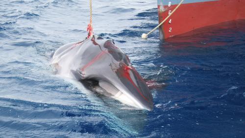 Pourquoi le Japon tient tant à chasser la baleine