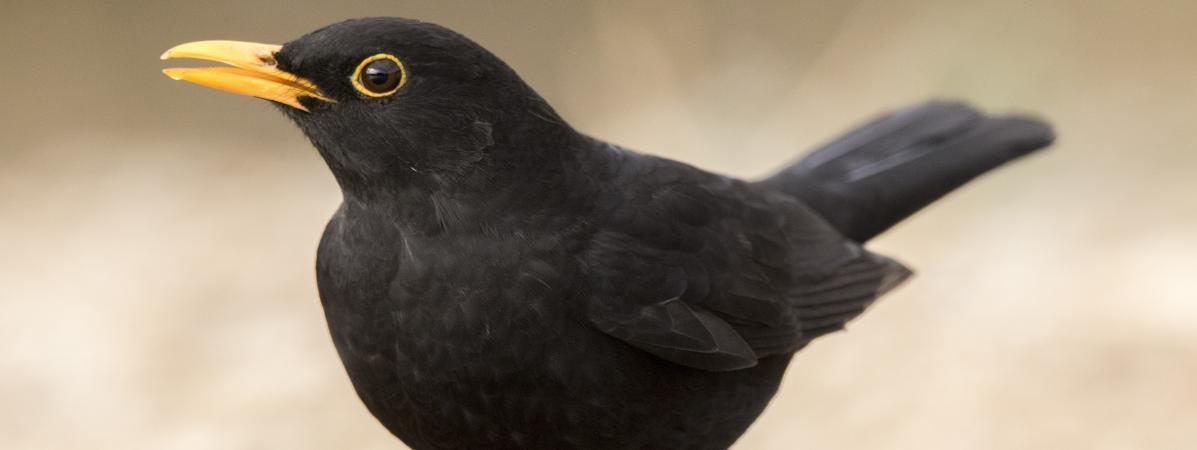 Plus adapté Chasse à la glu : la Ligue de protection des oiseaux saisit la ER-28
