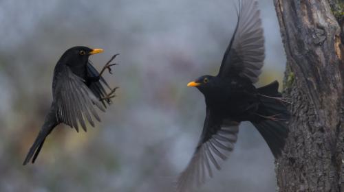 On vous explique la méthode controversée de la chasse à la glu, que cherche à interdire la Ligue de protection des oiseaux