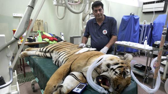 Amir Khalil, le directeur de l\'association Four Paws, aux côtés d\'untigre évacué d\'un zoode Khan Yunis, dans la bande de Gaza, le 24 août 2016, près de Tel Aviv, en Israël.