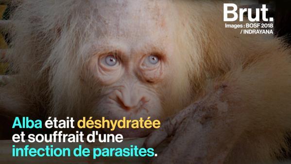 VIDEO. Sur l'île de Bornéo, un orang-outan albinos a été remis en liberté