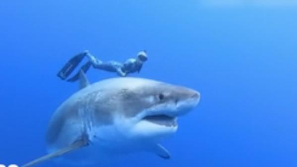 Requin : le grand blanc