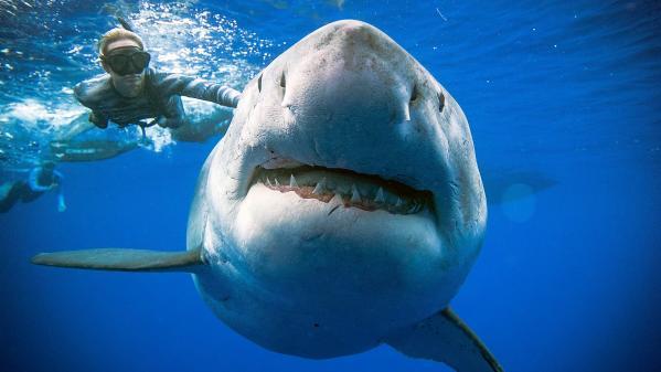 Des plongeurs nagent avec un gigantesque requin blanc au large d'Hawaï