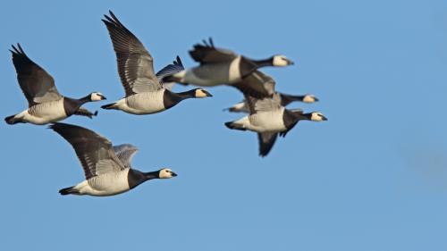 Le Conseil d'Etat retoque la prolongation de la chasse à l'oie