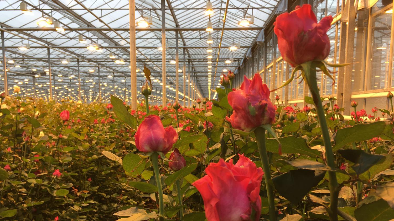 Combien De Rose Pour La St Valentin saint-valentin : du kenya à la france, en passant par les