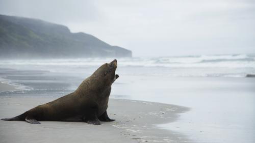 Nouvelle-Zélande : une touriste perd sa clé USB et la retrouve un an plus tard dans les excréments d'un lion de mer