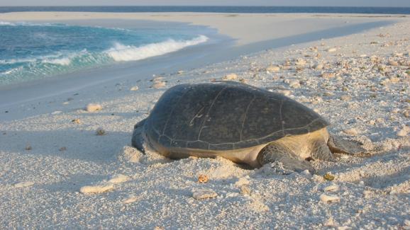 Tortue sur une plage de Tromelin, comme celles dont se nourrissaient les esclaves abandonnés sur l\'île.