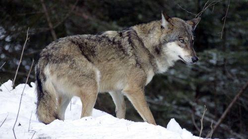 VIDEO. Isère : un loup a-t-il réellement fait la course avec une voiture sur une route de montagne ?