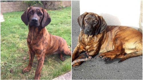 Bretagne : Onnie, la chienne des pompiers de Vannes, a été retrouvée