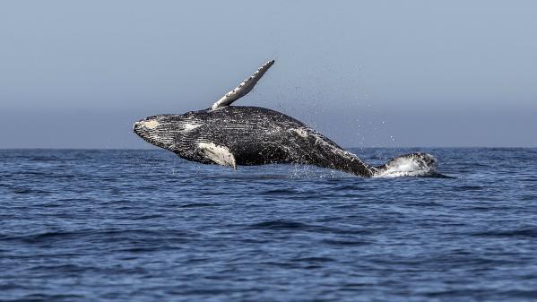 """VIDEO. En Russie, une """"prison à baleines"""" enferme des cétacés (en attendant d'être vendus à la Chine)"""
