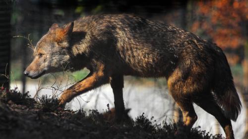 Loup : nouvelle attaque dans le Gard