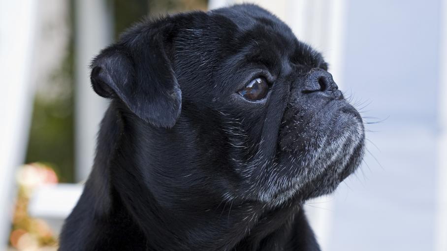 allemagne un chien saisi et vendu aux ench res pour ponger les dettes de ses ma tres. Black Bedroom Furniture Sets. Home Design Ideas