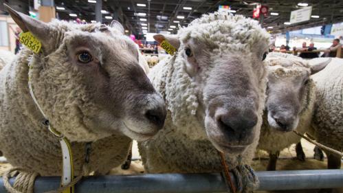Haute-Vienne : quand la tonte de moutons devient un sport de haut niveau