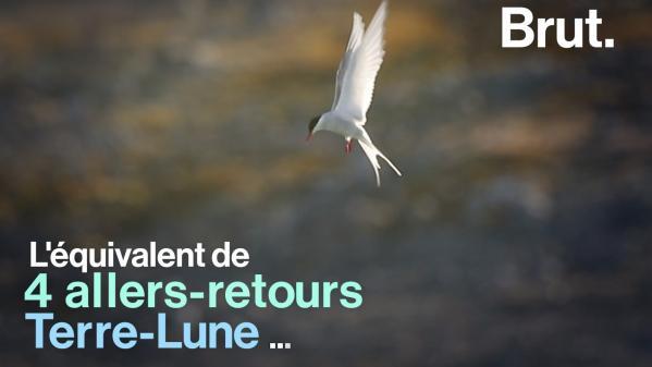 VIDEO. Lasterne arctique, l'oiseau qui peut parcourir l'équivalent de 4 allers-retours Terre-Lune