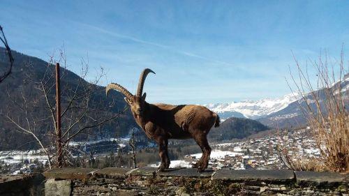 Haute-Savoie : Gaston le bouquetin s'est installé depuis trois semaines dans le jardin d'une particulière