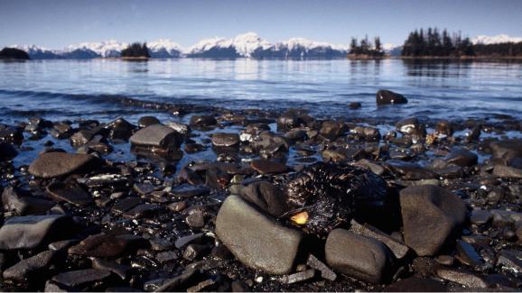 Un oiseau victime de la marée noire provoquée par l'Exxon Valdez, en mars 1989, dans le golfe d'Alaska.