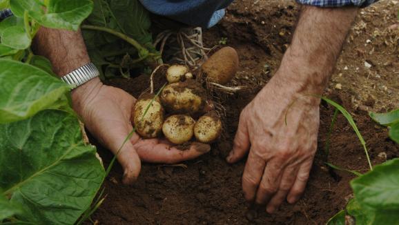 jardin. comment cultiver les pommes de terre primeur