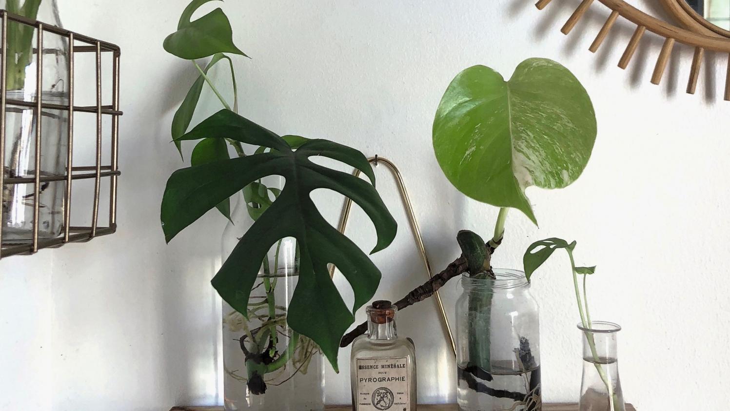 jardin plantes d 39 int rieur comment les bouturer dans l 39 eau. Black Bedroom Furniture Sets. Home Design Ideas