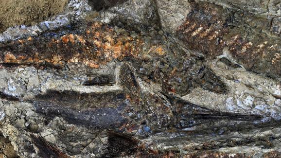 Des fossiles de poissons vieux de 66 millions d\'années découverts dans un excellent état de conservation par une équipe de chercheurs américains, sur le site de Tanis, dans le Dakota du Nord.