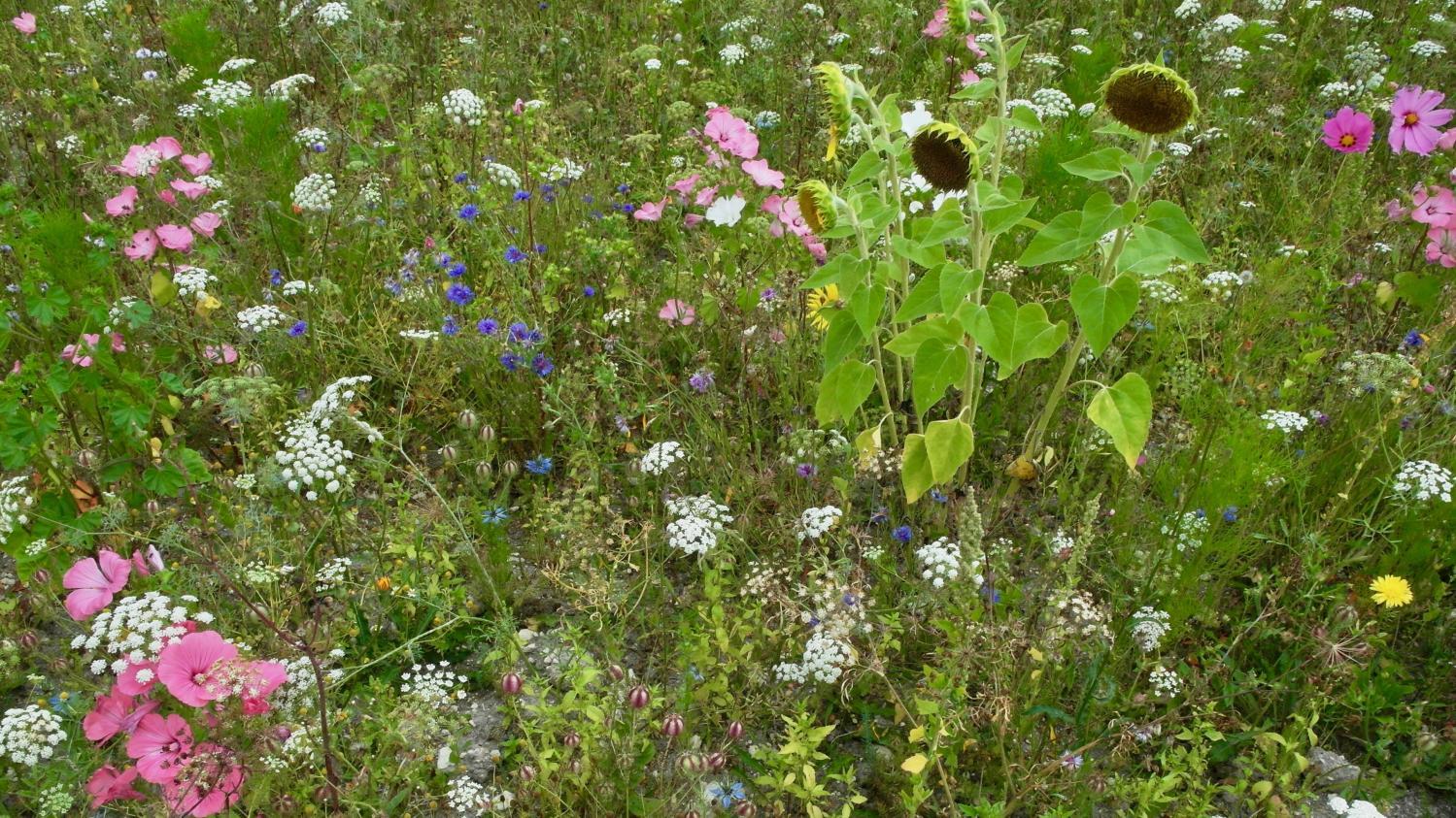 Planter Des Coquelicots Dans Son Jardin jardin. quand et comment semer une prairie fleurie