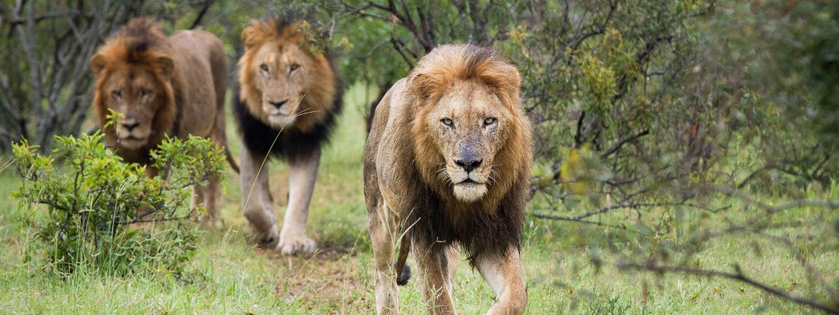 Des lions dans le parc national Kruger, en Afrique du Sud, le 12 décembre 2012.