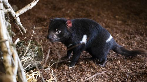 Loir-et-Cher: deux diables de Tasmanie vont effectuer leur première sortie vendredi au zoo de Beauval