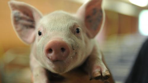 Des chercheurs parviennent à réactiver des cellules de cerveaux de porcs morts