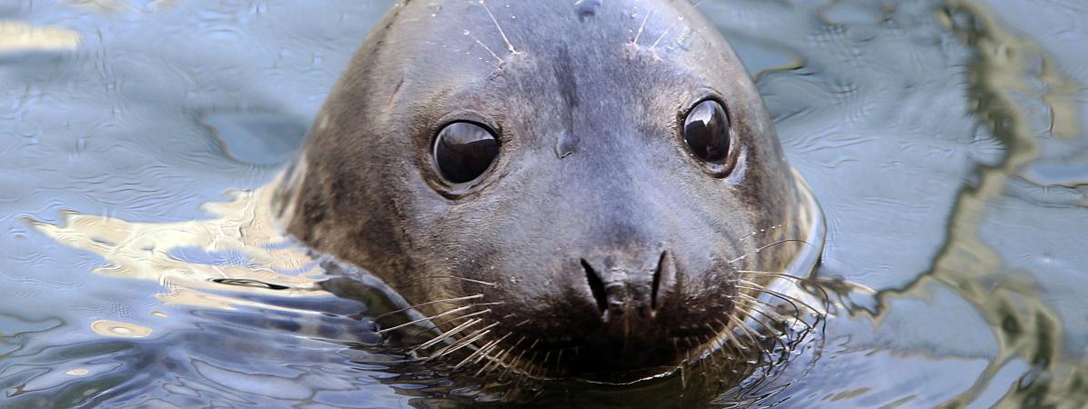 Deux bébés phoques vont être relâchés dans l'océan Atlantique après trois mois passés à l'aquarium de Biarritz