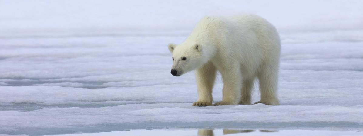 """Russie : un ours polaire """"épuisé"""" retrouvé à 700 kilomètres de son habitat naturel"""