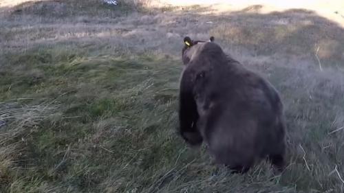 Après son hibernation, l'ourse Sorita a été aperçue dans les Hautes-Pyrénées avec deux oursons