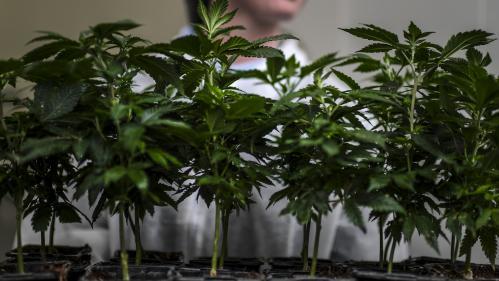 """Il y a """"une attente immense"""" : un collectif de patients veut peser en faveur du cannabis thérapeutique"""