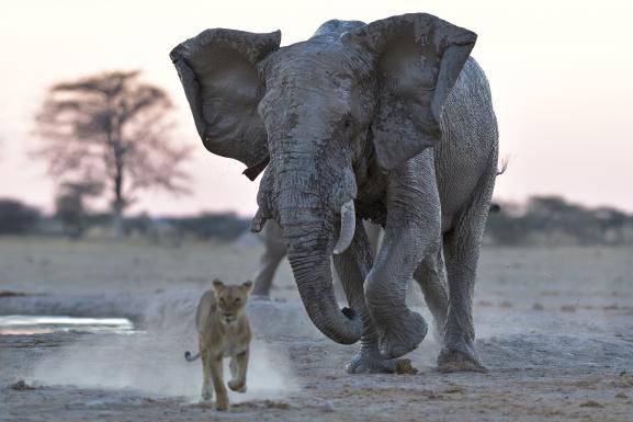 Eléphant chargeant un jeune lion dans leNxai Pan National Park (nord-est du Botswana).