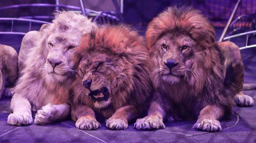 Bretagne : une jeune femme de 26 ans blessée par un lion à Montfort-sur-Meu https://www.francetvinfo.fr/culture/spectacles/cirque/bretagne-une-jeune-femme-de-26ans-blessee-par-un-lion-a-montfort-sur-meu_3450457.html…