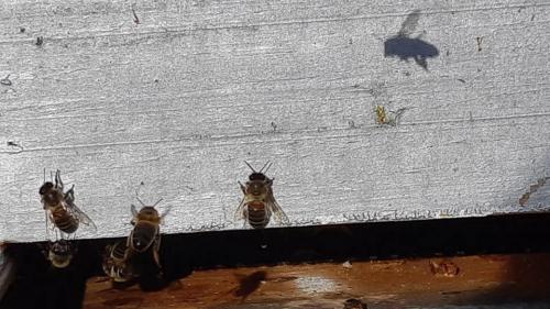 """Disparition des abeilles : """"C'est le monde des pollinisateurs qu'il faut sauver"""", estime un agronome"""