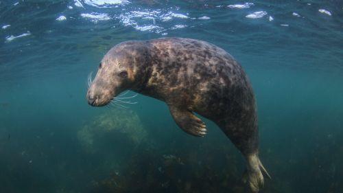 Finistère : deux marins-pêcheurs convoqués par la justice dans l'affaire des phoques décapités