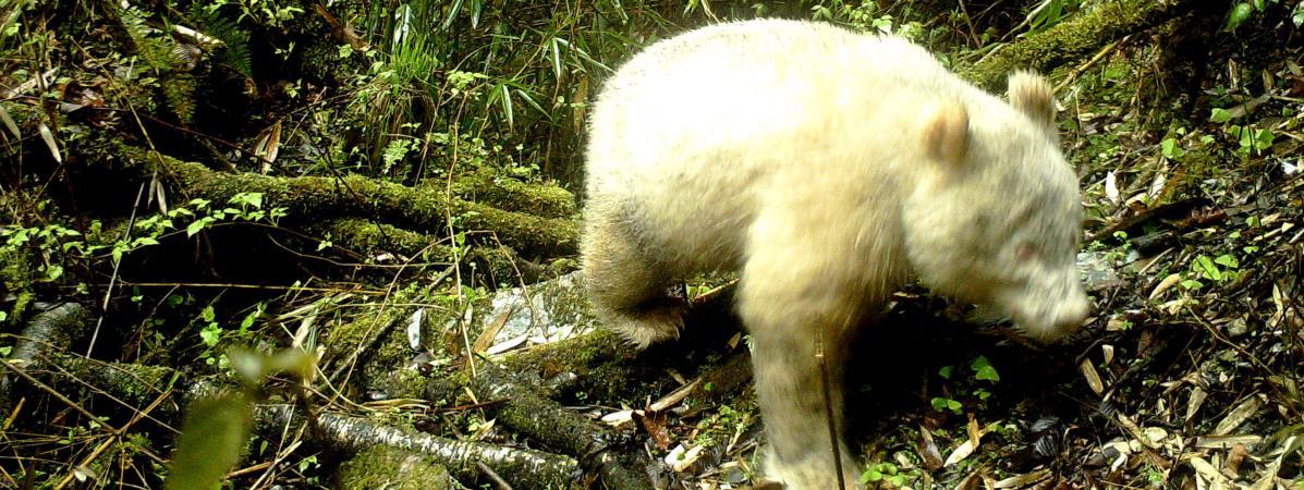 Un panda géant albinos, le 20 avril 2019, dans la réserve naturelle nationale du Wolong (Chine).