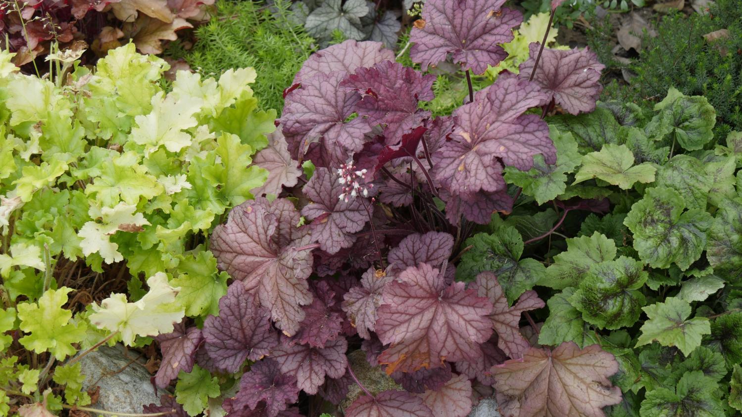 jardin les heuch res des feuilles color es toute l 39 ann e. Black Bedroom Furniture Sets. Home Design Ideas